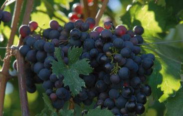 Vini di Liguria