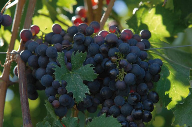 The vines of Liguria